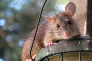 Rat Infestation, Pest Control in South Croydon, Sanderstead, Selsdon, CR2. Call Now 020 8166 9746