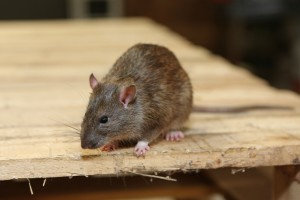 Mice Infestation, Pest Control in South Croydon, Sanderstead, Selsdon, CR2. Call Now 020 8166 9746