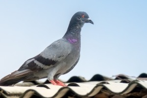 Pigeon Control, Pest Control in South Croydon, Sanderstead, Selsdon, CR2. Call Now 020 8166 9746