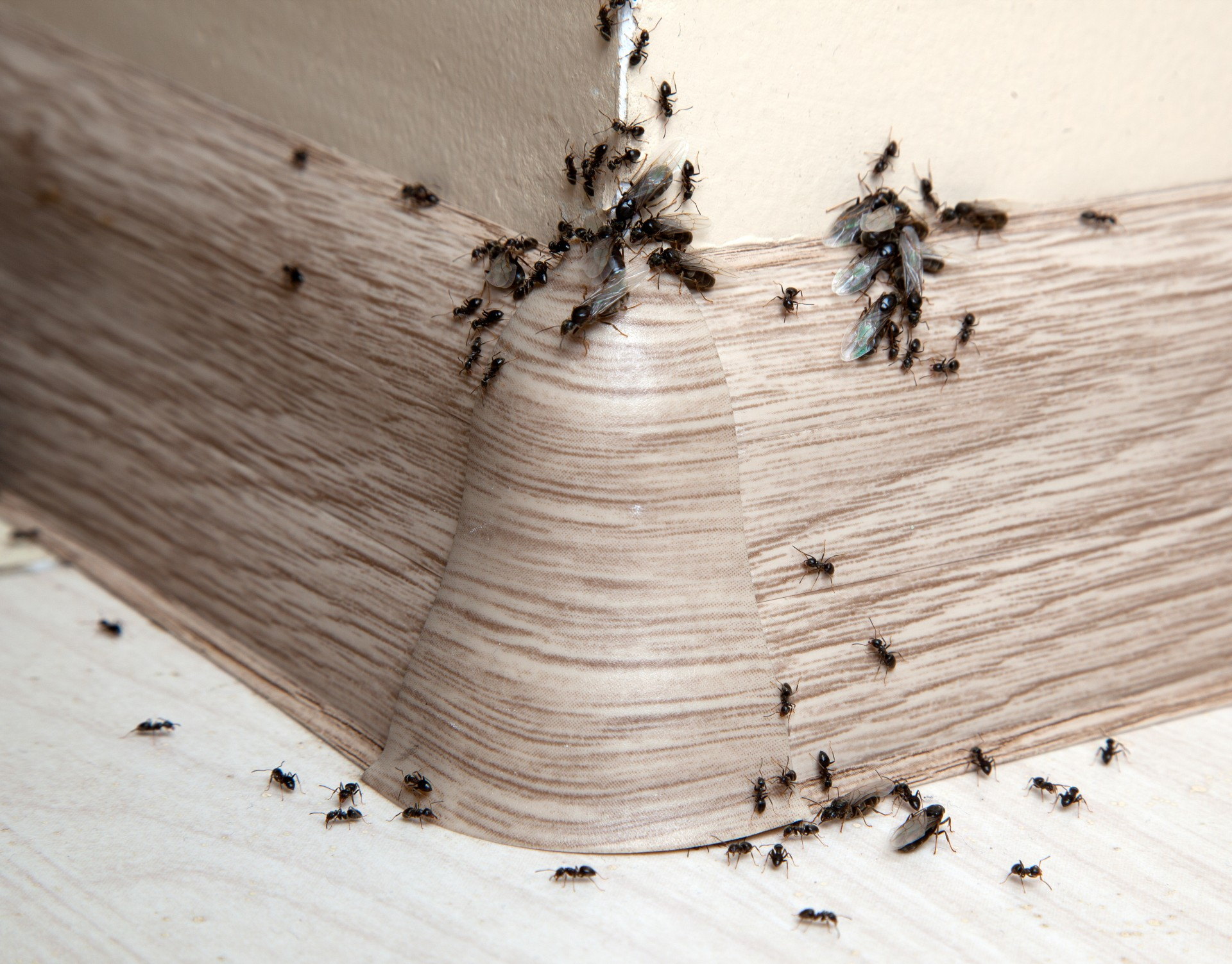 Ant Infestation, Pest Control in South Croydon, Sanderstead, Selsdon, CR2. Call Now 020 8166 9746