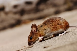 Mouse extermination, Pest Control in South Croydon, Sanderstead, Selsdon, CR2. Call Now 020 8166 9746
